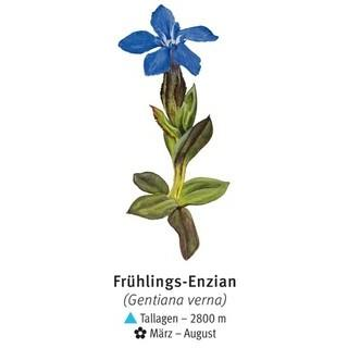 Frühlings-Enzian - © DAV