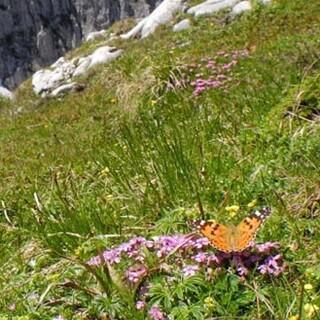 Distelfalter - Blütezeit im Sengsengebirge – da fühlt sich auch ein Distelfalter wohl. Foto: NPK/Erich Weigand
