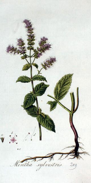 Die Rossminze ist oft am Wegesrand zu finden. Für einen Tee ist sie zu bitter, aber für ein leichtes Minzaroma im Essen ideal.