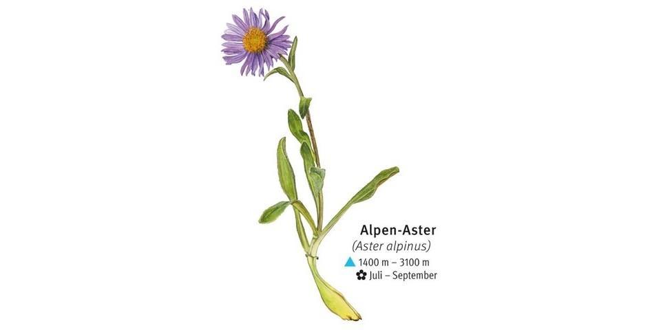 Alpen-Aster - © DAV