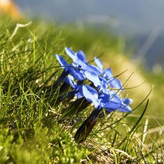 Frühlings-Enzian. Foto: Steffen Reich
