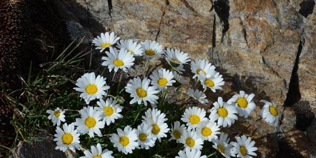 Bergblumen - Strahlemann: Selbst auf fast 3000 Meter Höhe wuchern die Bergblumen – allein sie sind eine Reise wert.