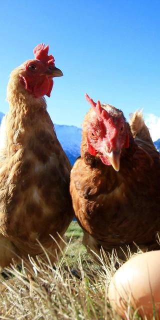 Hühner auf der Olpererhütte. Foto: DAV/Manuel Daum