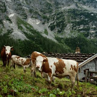 Das bayerische Alpenland ist Heimat der Bergader-Kühe. Foto: Bergader