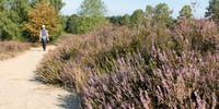 Die Lüneburger Heide in voller Blüte. Foto: Christof Herrmann