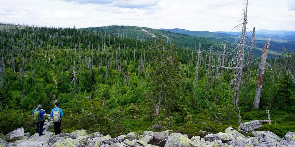 Am Lusen reicht der nachgewachsene kräftige Fichtenwald bis zur berühmten Gipfel-Blockschutthalde. Foto: Joachim Chwaszcza