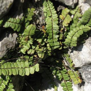 Ein häufiger Felsbewohner - der Braunstielige Streifenfarn, Foto: DAV