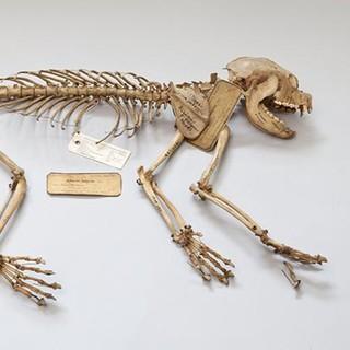 Panda-Skelett - Skelett eines kleinen Panda oder Katzenbären (Ailurus fulgens) aus Nepal.Zoologische Staatssammlung München