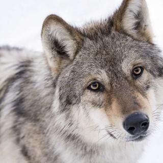 Film-Unsere-Wildnis-Wolf