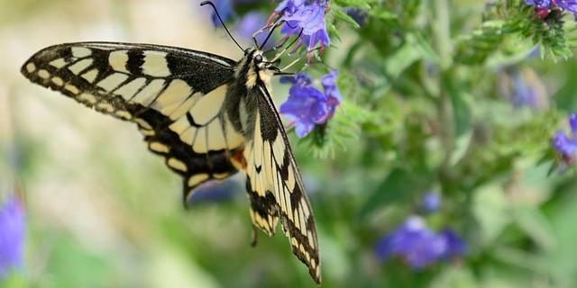 Naturlandschaft Dolomiten: Die reiche Blütenpracht der Wiesen unter den Wänden bietet dem Schwalbenschwanz Nahrung. Foto: Ralf Gantzhorn