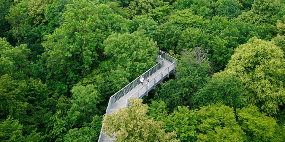 Wie ein klassischer Baumkronenpfad im tropischen Urwald – der Baumkronenpfad im Hainich Nationalpark wurde 2005 eröffnet und führt zwischen 10 und 24 Metern Höhe durch die Wipfel. Foto: Joachim Chwasczca