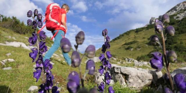 Heimwärts durch Blumen: Die reiche Flora rund ums Große Walsertal macht hier jeden Wandertag zum Erlebnis. Foto: Stefan Herbke
