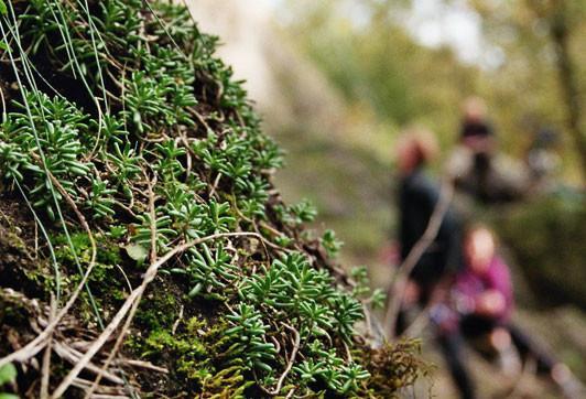 Felspflanzen - Der Weiße Mauerpfeffer ist ein Spezialist für trockene Standorte. Foto: S.Reich
