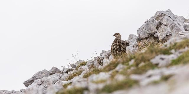 Artenvielfalt erhalten - Das Schneehuhn im Sommerkleid, Foto: DAV/Sebastian Müller-Wolfskeil