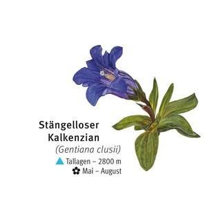 Stengelloser Kalkenzian - © DAV