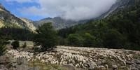 Beim Aufstieg Espital de Vielha zum Refugi dera Restanca im Val d'Aran begegnet man nicht selten einer riesigen Schafherde. Foto: Annika Müller