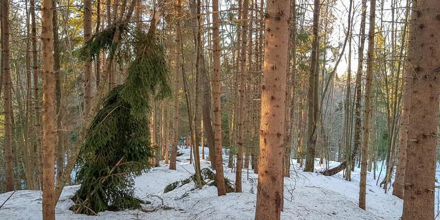 Schneebruch: Ausgebrochene Fichtenkrone, Foto: Christoph Hummel