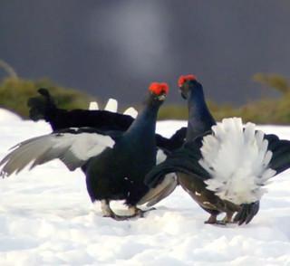 Birkhühner am Riedberger Horn beim Balztanz, Bild: 3sat (Filmszene)