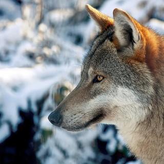 Wolf-Pxelio-de