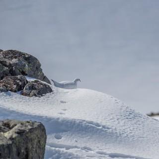 Alpenschneehuhn (2)