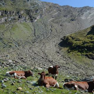Rückblick zur Schmiedingerscharte - Den Kühen bleibt der steile Hang unter der Schmiedingerscharte erspart.