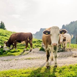 Kühe sind friedfertige Tiere. Es sei denn, sie fühlen sich angegriffen. Foto: DAV/Hans Herbig