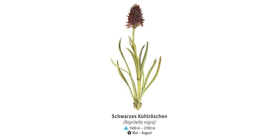Schwarzes Kohlröschen - © DAV