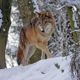 Wolf. Foto: pixabay Lizenz - Pixel-mixer/Marcel Langthim