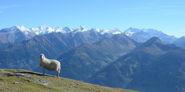 Man könnte am Pinzgauer Spaziergang auch lange nur stehenbleiben und die Aussicht auf die Tauern genießen. Foto: Andi Dick