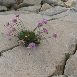 Felspflanze Pyrenäen Foto Steffen Reich