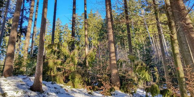 Schneebruch: Nicht selten wirft die Schneelast ganze Bäume um. Foto: DAV/Christoph Hummel