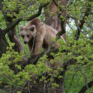 In den Karpaten lebt die größte Braunbär-Population Zentraleuropas. Foto: Win Schumacher, weltwege.de
