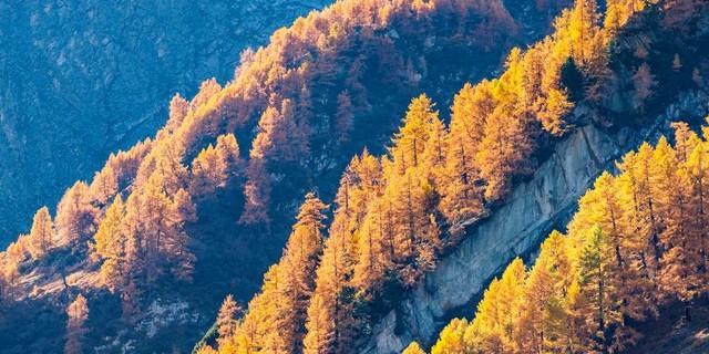 Lärchen im Virgental, Osttirol. Foto: Heinz Zak