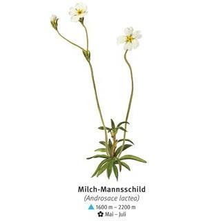 Milch-Mannsschild - © DAV