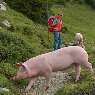 Streicheln oder Essen? Nicht nur mit Kühen darf man sich auf der Walserrunde manchmal die Wege teilen. Foto: Stefan Herbke