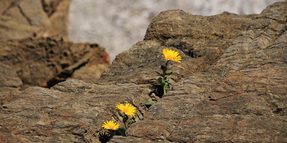 Kräftige Lebenszeichen zwischen Felswüste und Gletscherresten unterhalb des Gipfels des Säntis. Foto: Silvia Schmid
