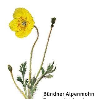 Bündner Alpenmohn - © DAV