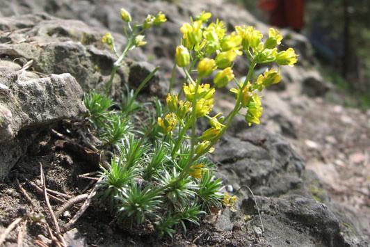 Immergrünes Felsenblümchen - Eine typische Felspflanze, Foto: S. Reich