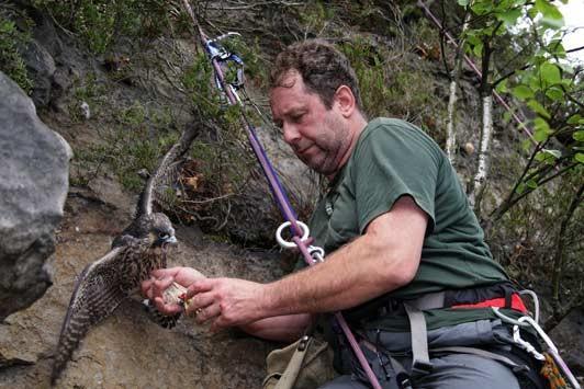 Wanderfalkenspezialist Ulrich Augst vom Nationalparkamt Sächsische Schweiz bei der Beringung eines Wanderfalken.