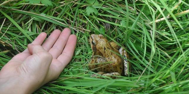 Grasfrosch in der Wiese&#x3B; Foto: Lena Behrendes