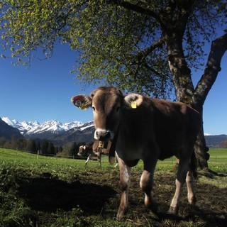 Auch Allgäuer Kühe haben nur noch am Freitag Vormittag Chancen auf Sonne. Foto: M. Pröttel
