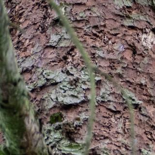 Die Hauptnahrung des Dreizehenspechts sind Borkenkäfer. In Bialowieza findet er genug davon. Foto: Nadine Ormo