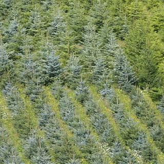 Weihnachtsbaumplantage, Foto: NABU/Helge May