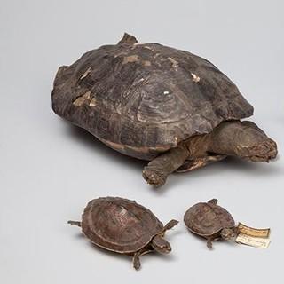 Ganges-Diademschildkröten - Fünf Ganges-Diademschildkröten (Hardella thurjii) aus Sikkim,Kashmir, Himalaya,&nbsp&#x3B;Khasi-Berge. Zoologische Staatssammlung München