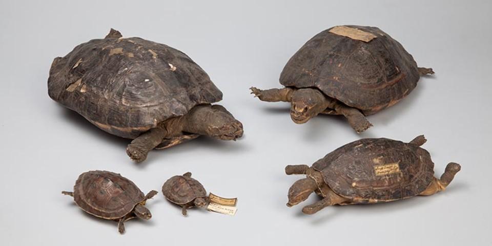Ganges-Diademschildkröten - Fünf Ganges-Diademschildkröten (Hardella thurjii) aus Sikkim,Kashmir, Himalaya,Khasi-Berge. Zoologische Staatssammlung München