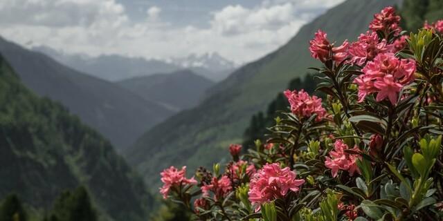 Wenn wir Wert auf Klimaschutz legen, werden wir auch in Zukunft mit dem Anblick wunderschöner Alpenrosen belohnt. Foto: DAV/Marcel Dambon