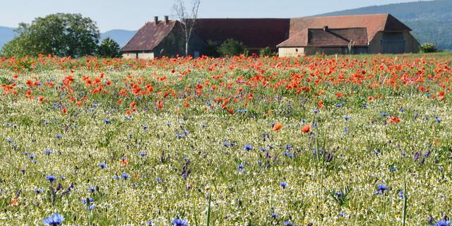 Die sanfte Hügellandschaft mit Kornblumen und Mohn begeistert mich. Foto: Günter Kromer