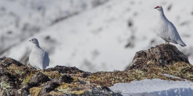 Alpenschneehuhn