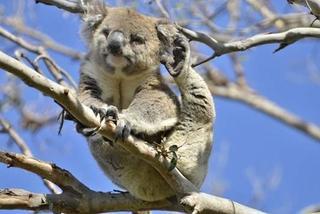 Great-Ocean-Koala