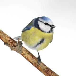 Stunde der Wintervögel - Foto: NABU/Frank Derer